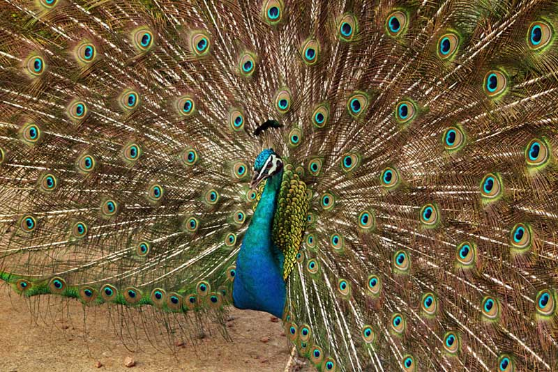 Proud Peacock Spreads His Tail Feathers in Scotland