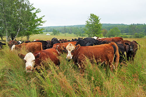 Cow herd at Winters Grass Farm