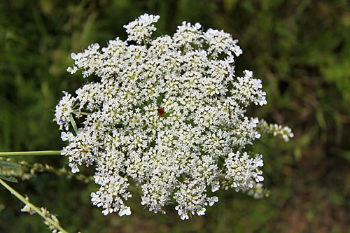 Queen Anne's Lace blossom with a perfect ruby red center
