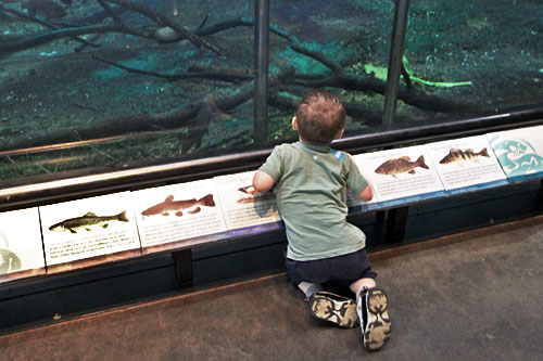 Fascinated by trouts in the Living River at The Wild Center, Tupper Lake, Adirondack Park