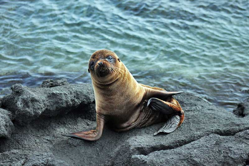Baby Sea Lion Poses for a Portrait in the Galapagos Islands of Ecuador
