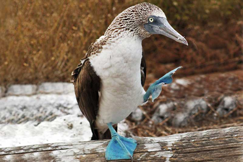 Blue-Footed Booby in the Galapagos Islands of Ecuador