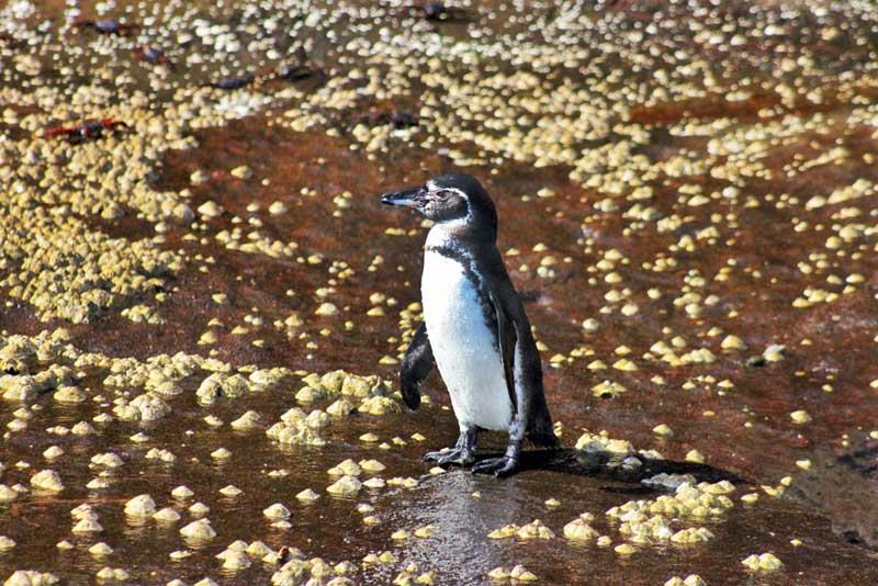 Penguin Surrounded by Algae and Sally Lightfoot Crabs, Galapagos Islands of Ecuador