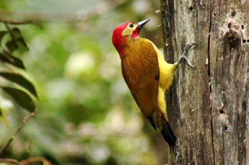 Golden Olive Woodpecker showed up outside my cottage door to welcome me