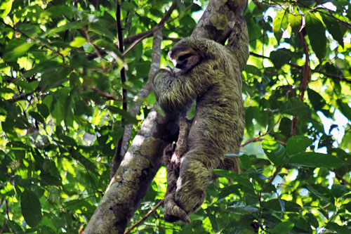 Mother sloth with baby hanging from her belly in Manuel Antonio National Park, Costa Rica