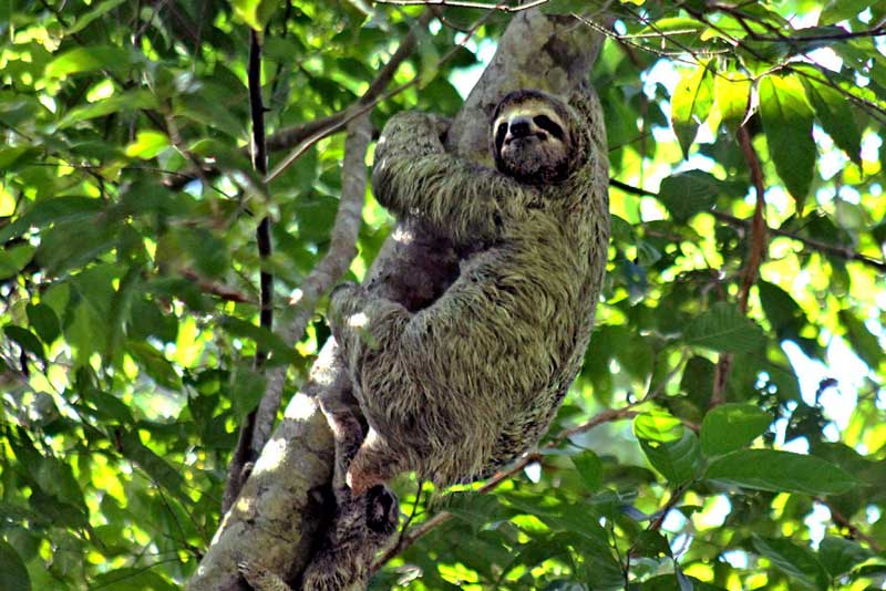 Costa-Rica-Manuel-Antonio-National-Park-Two-toed-Sloth2