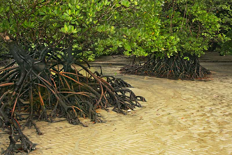 Exposed Mangrove Roots at Cape Tribulation in Australia's Daintree National Park, Where the Rainforest Meets the Reef