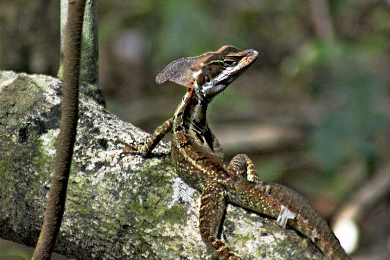 Costa-Rica-Manuel-Antonio-National-Park-Jesus-Christ-Lizard