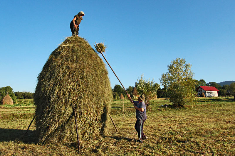 Following the Late Summer Harvest, Farm Families Concentrate on Making the Haystacks in Breb Romania