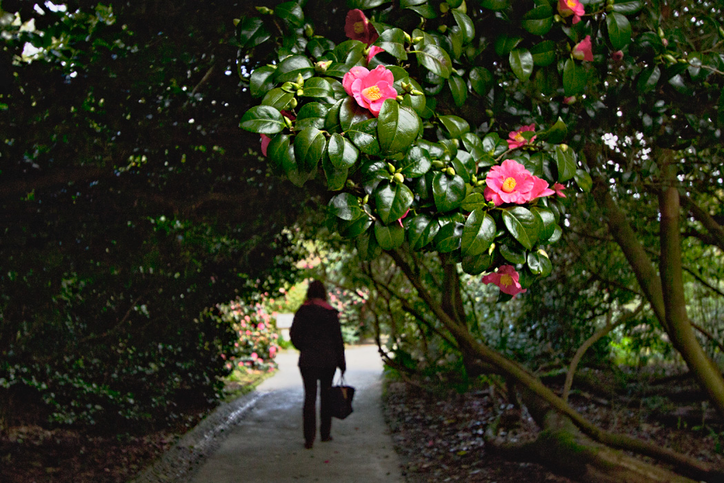 A stroll through blooming Camellia trees at The Lost Gardens of Heligan in Cornwall, England