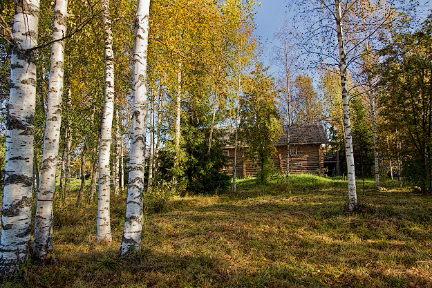 Birch Trees of Russia Mandrogy Island