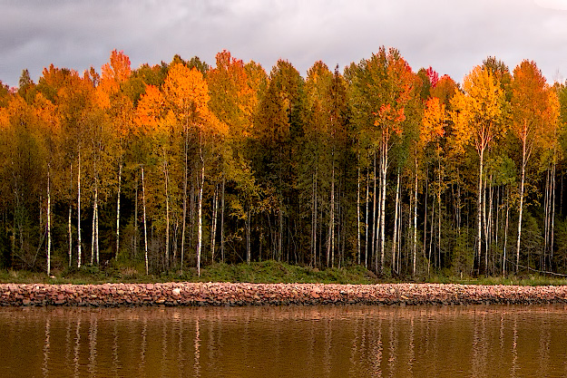 White Birch trees along the Volga-Baltic Waterway in Russia