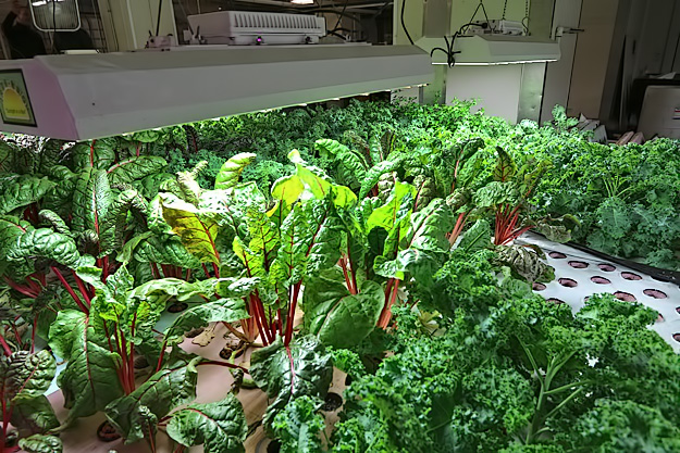 Self-pollinating veggies in the aquaponic farm