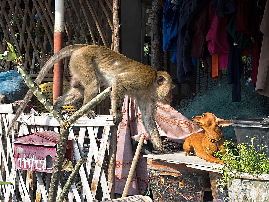 At the far southern end of the beach in Hua Hin, Thailand, troupes of Hua Hin monkeys roam the wharves and seafood restaurants around Khao Takiab mountain, searching for food. This Dachshund, a pet of one of the restaurant owners, was fearless when confronted by a monkey three times his size