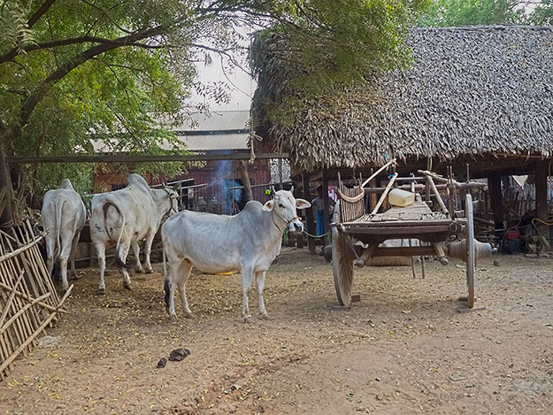 Typical village home in Myanmar, built of woven bamboo mats and straw thatch. The oxen in the yard are used to pull wagons and plow fields.
