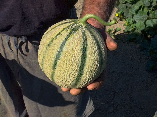 A perfect sample of the famous Charentais melons of Provence, France