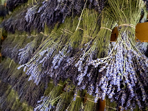 Bundles of Lavender drying on racks at HO Lavande in Valla de la Pierre