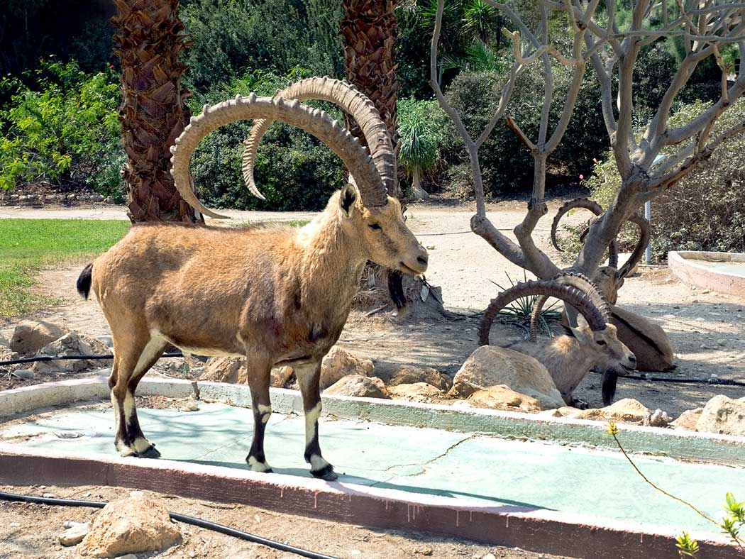 Wild Ibex wander into the botanical gardens at Ein Gedi, a desert oasis just two hours outside of Jerusalem