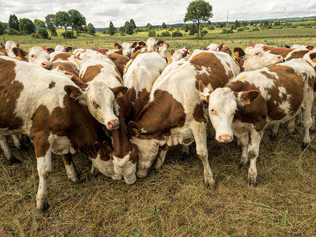 How is Comte cheese made? It all begins here, with these Montbeliarde cows.