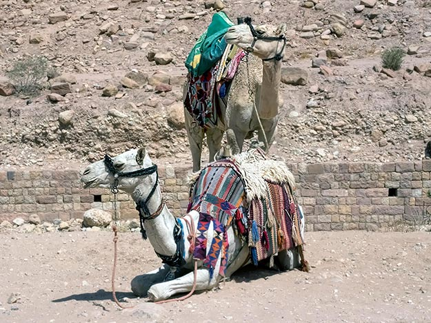 Camels owned by the Bedouins of Petra and Wadi Rum, Jordan, are used to transport tourists around desert sites