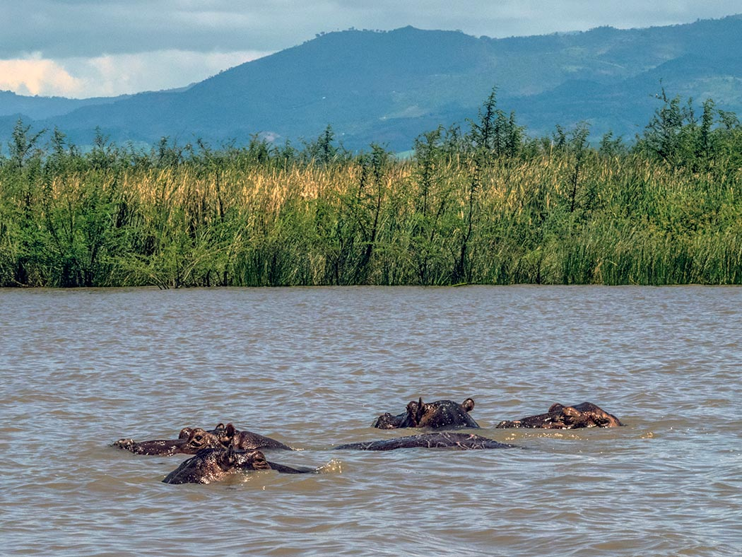 Hippos at Lake Chamo in Ethiopia spend most of their day submerged, eating grasses at the bottom of the lake. But every so often they have to surface to breathe, and I was lucky enough to catch this pod of four doing just that