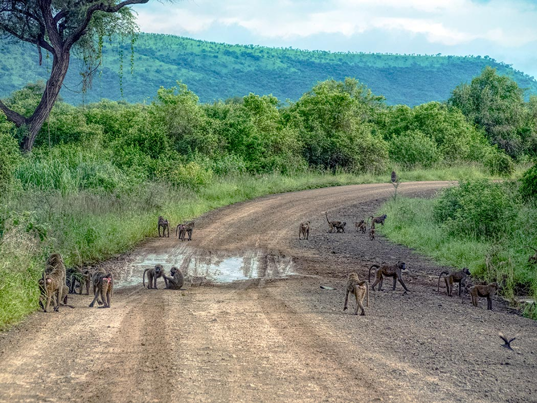 Troop of baboons emerge on the road in Mago National park in the Omo Valley of southern Ethiopia