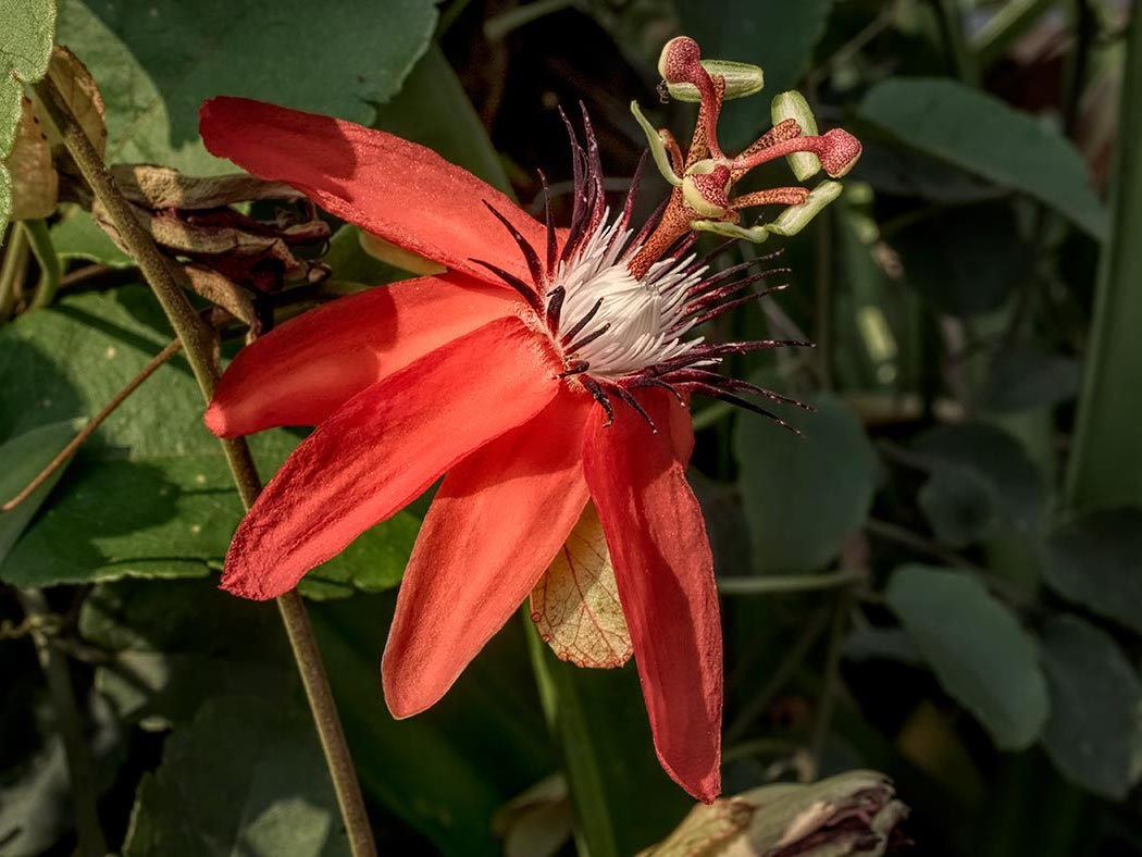 Scarlet Passion Flower is a climbing vine native to the Amazon region in South America