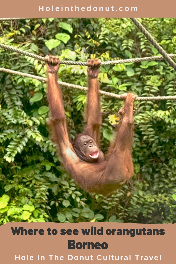 The Sepilok Orangutan Rehabilitation Center, in the town of Sandakan in Malaysian Borneo, is one of the best places to see orangutans in the wild.