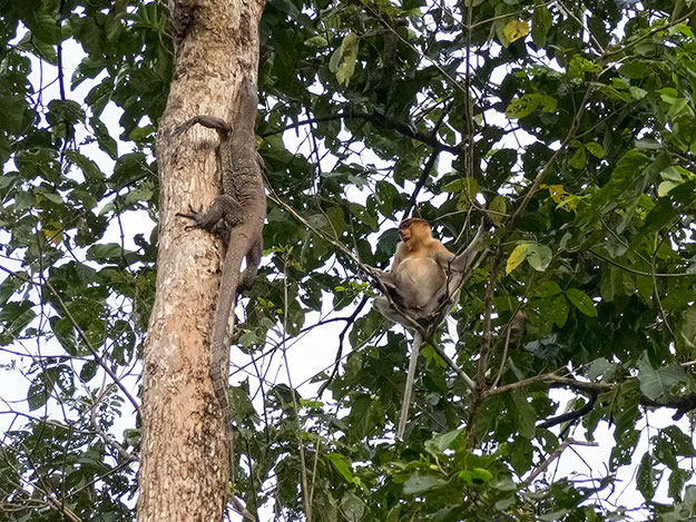 Proboscis monkey watches intently as monitor lizard climbs a tall tree to nest for the night