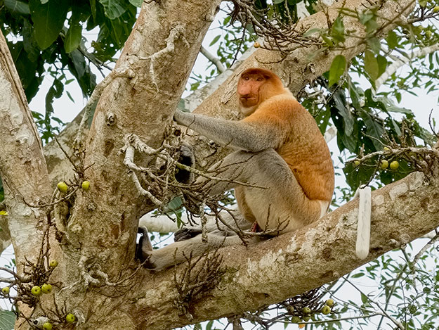This alpha male proboscis monkey reminded me of my late Uncle Bee, with his big nose and pot belly