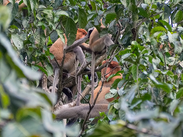 How many proboscis monkeys can you spot in this dense foliage. Spoiler: there are five!