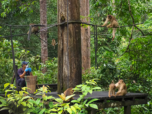 During the morning feeding, macaque monkeys take over the feeding platform at Sepilok Orangutan Rehabilitation Centre