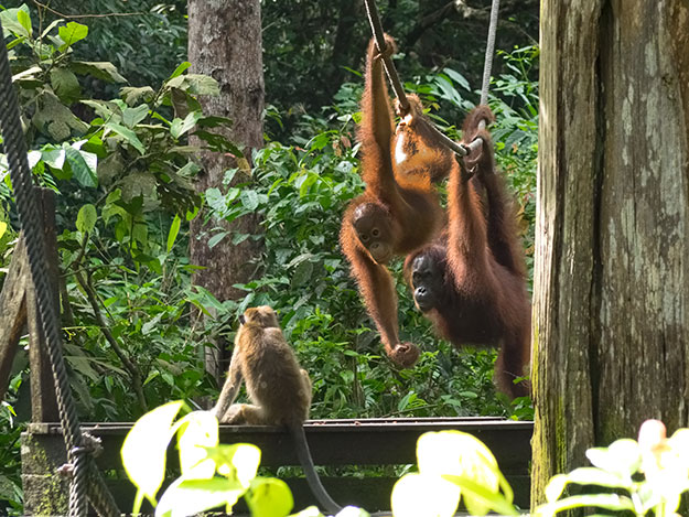 Two younger orangutans challenge a macaque monkey waiting to be fed