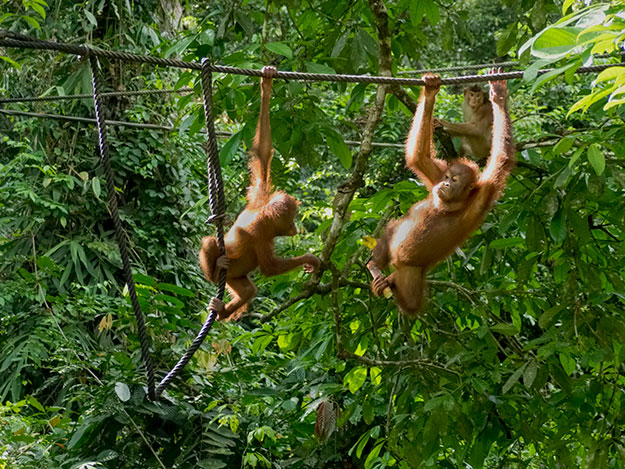 Just swingin' through the jungle, wild and free. These two arangutans showed up for the afternoon feeding at Sepilok Orangutan Rehabilitation Centre, one of the best places in the world to see orangutans in the wild.