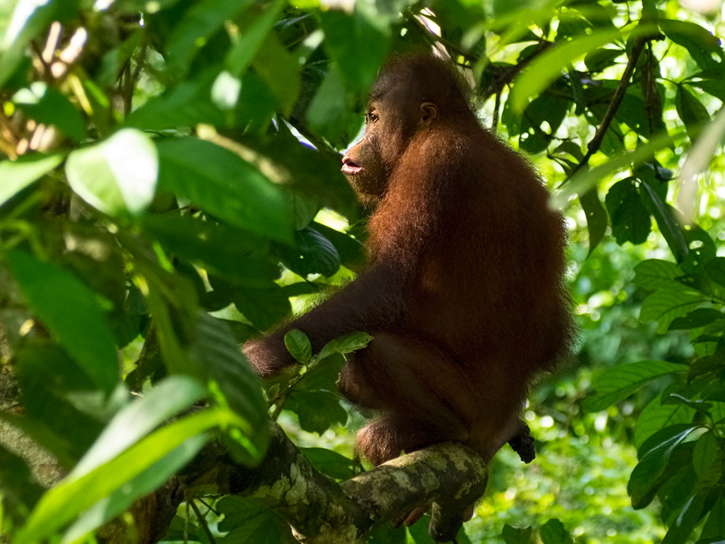 Solo orangutan in Borneo rain forest, in the Malaysian state of Sabah