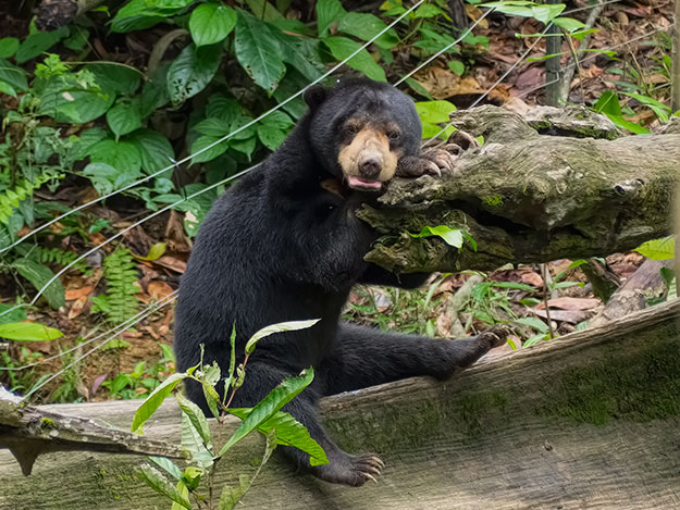 Sun Bears use their long claws to tear apart logs, looking for a meal of termites, ants, grubs, and a multitude of other creepy crawlies