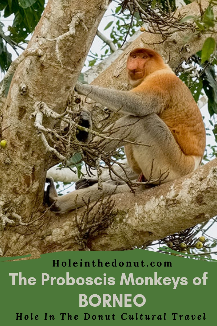 The Proboscis Monkey of Borneo – Proof that Size Matters After All