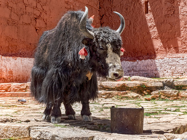 At Phuntsoling Monastery, monks feed a yak, one of the strangest of Tibetan animals