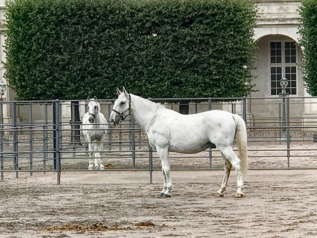 The Kladruber Horses of the Danish Royal Family