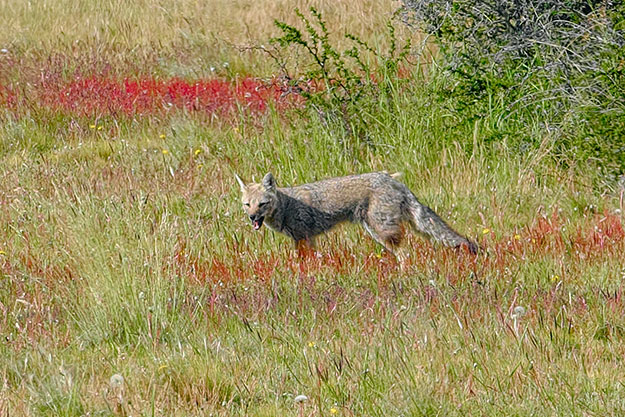 Our bus driver screeched to a halt to make sure we all spotted this Patagonian grey fox. I never would have seen it on my own.