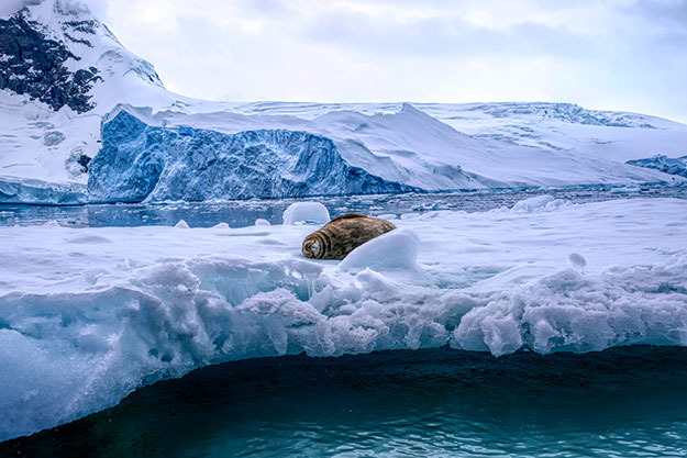 Weddell seal snoozes on an iceberg in Ciera Cove, Antarctica