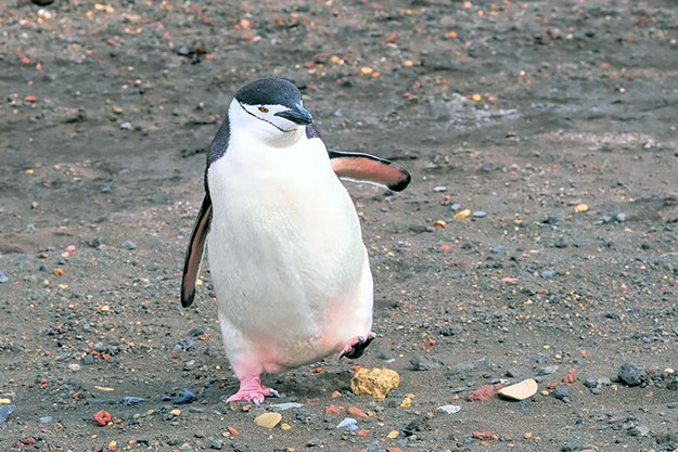 Chinstrap Penguin, one of the cutest animals of Antarctica