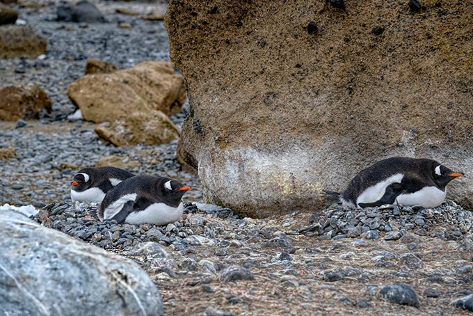 Gentoo penguins at Brown Bluff pay us no heed as we stroll by