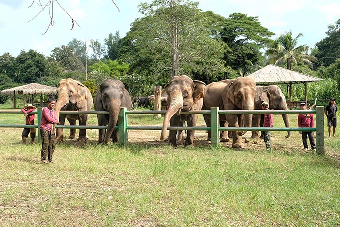 The herd at Kanta Elephant Sanctuary in Mae Taeng, Thailand, eagerly lines up in anticipation of being fed by our group