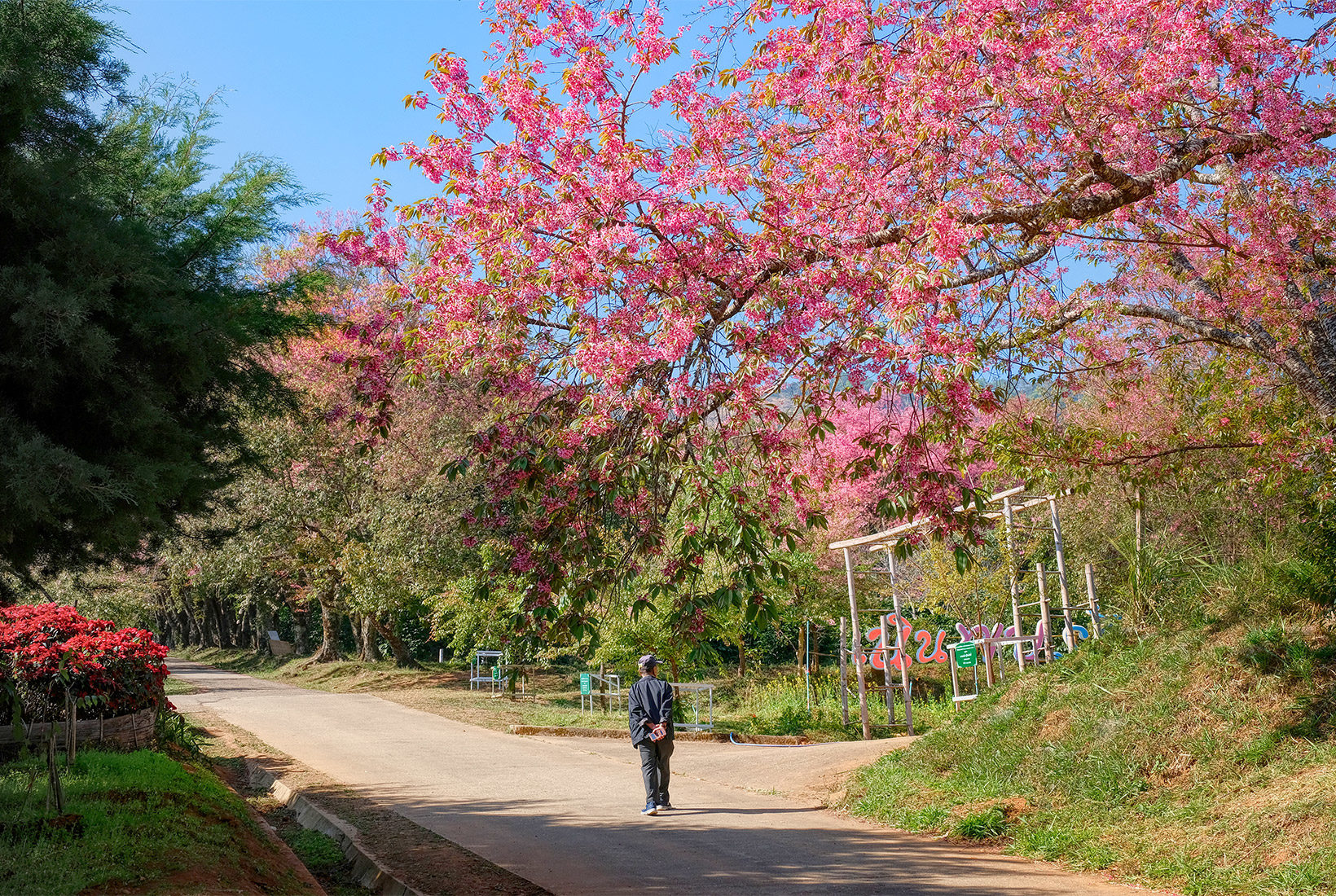 Cherry tree blossoms overhang the path at the Royal Agricultural Research Center
