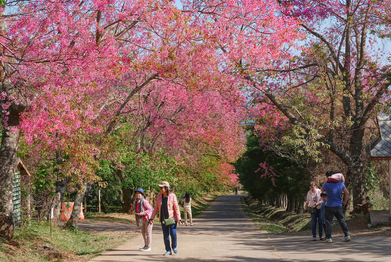 Strolling along a path beneath cherry tree blossoms at the Royal Agricultural Research Center