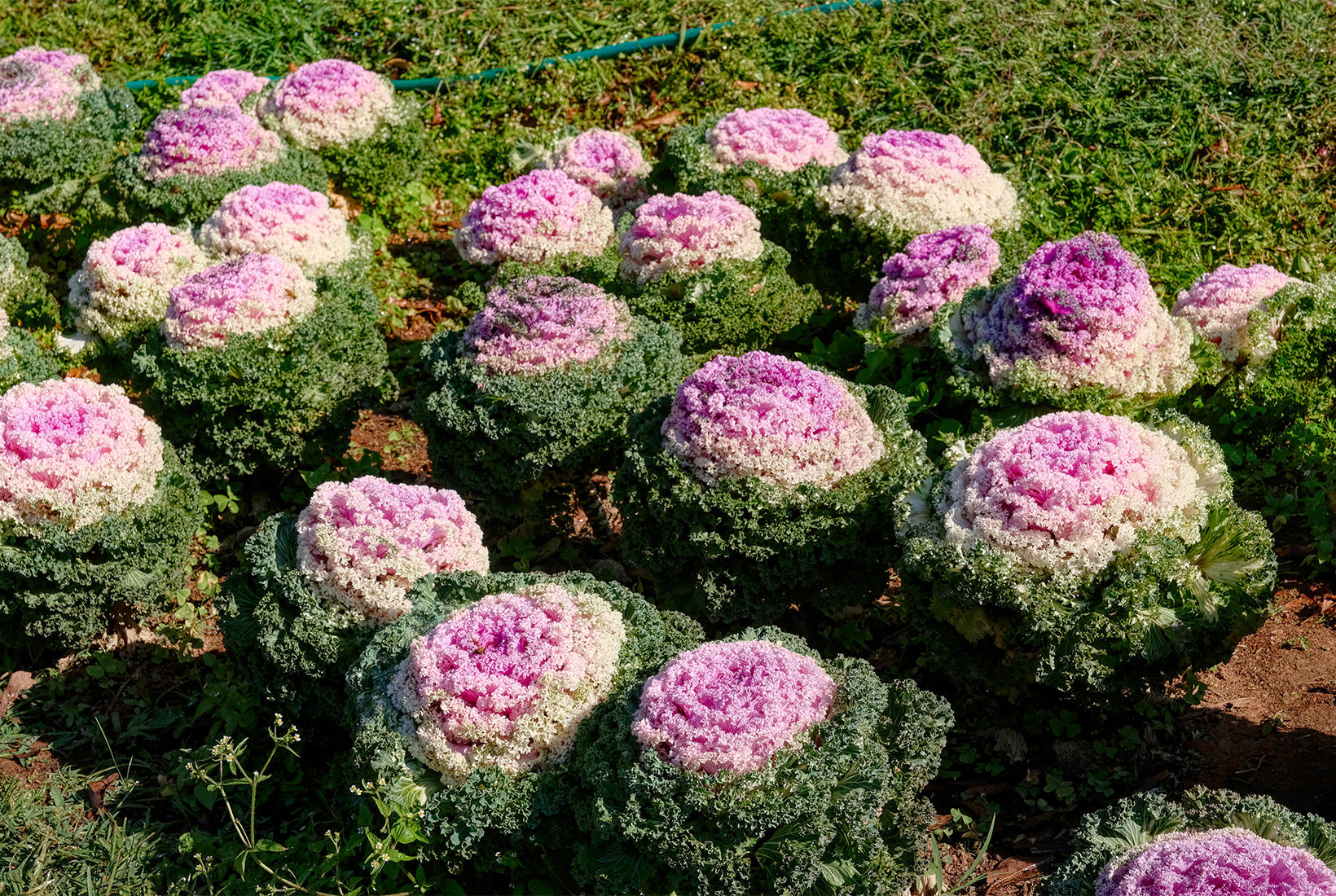 Ornamental Cabbage flowers at Royal Agricultural Reasearch Center at Doi Inthanon National Park, Thailand