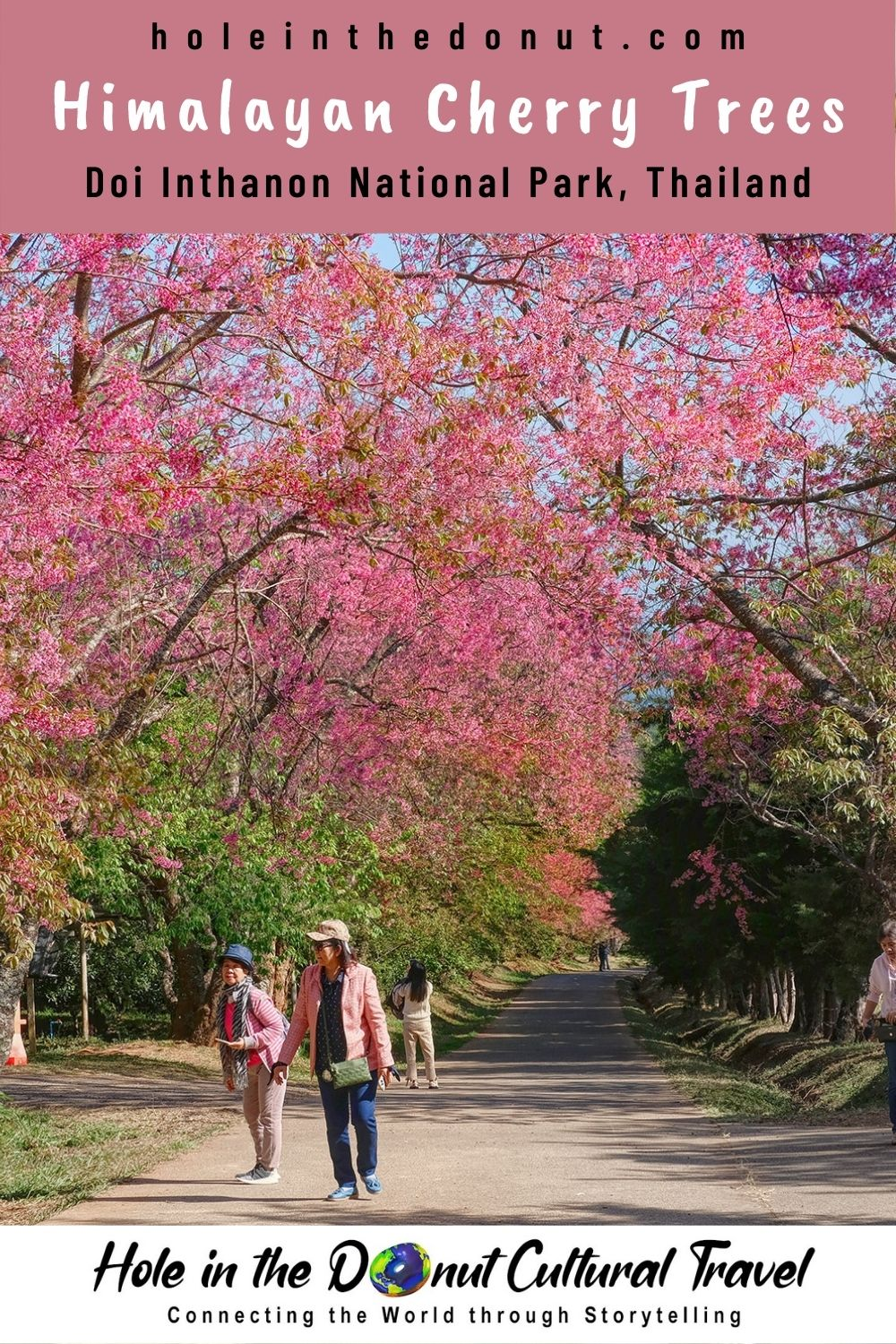 The Cherry Tree Blossoms of Thailand
