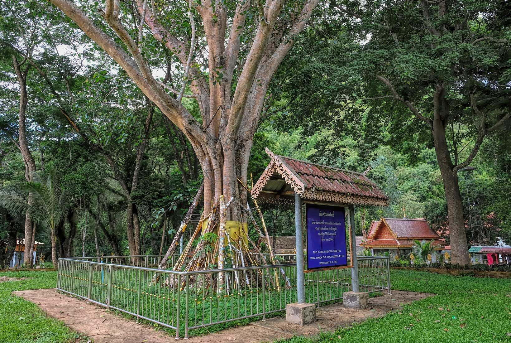 The golden monk's robe wrapped around the base of this great Bodhi Tree at Wat Tham Chiang Dao in Chiang Dao shows that it has been ordained. Planted by the king in 1958 it is considered a sacred tree. Worshipers have earned merit by placing decorated bamboo poles beneath its heavy limbs as suppots.