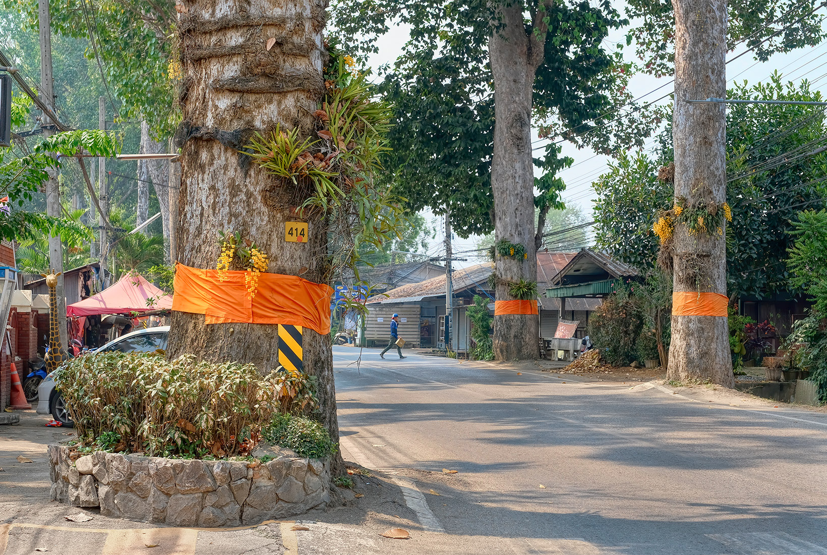 Dton Yaang Naa Trees along Chinag Mai-Lamphun Road have been ordained by wrapping them in saffron monk's robes, ensuring they will not be cut down